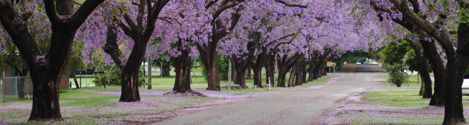 Jacaranda lined street in Pretoria